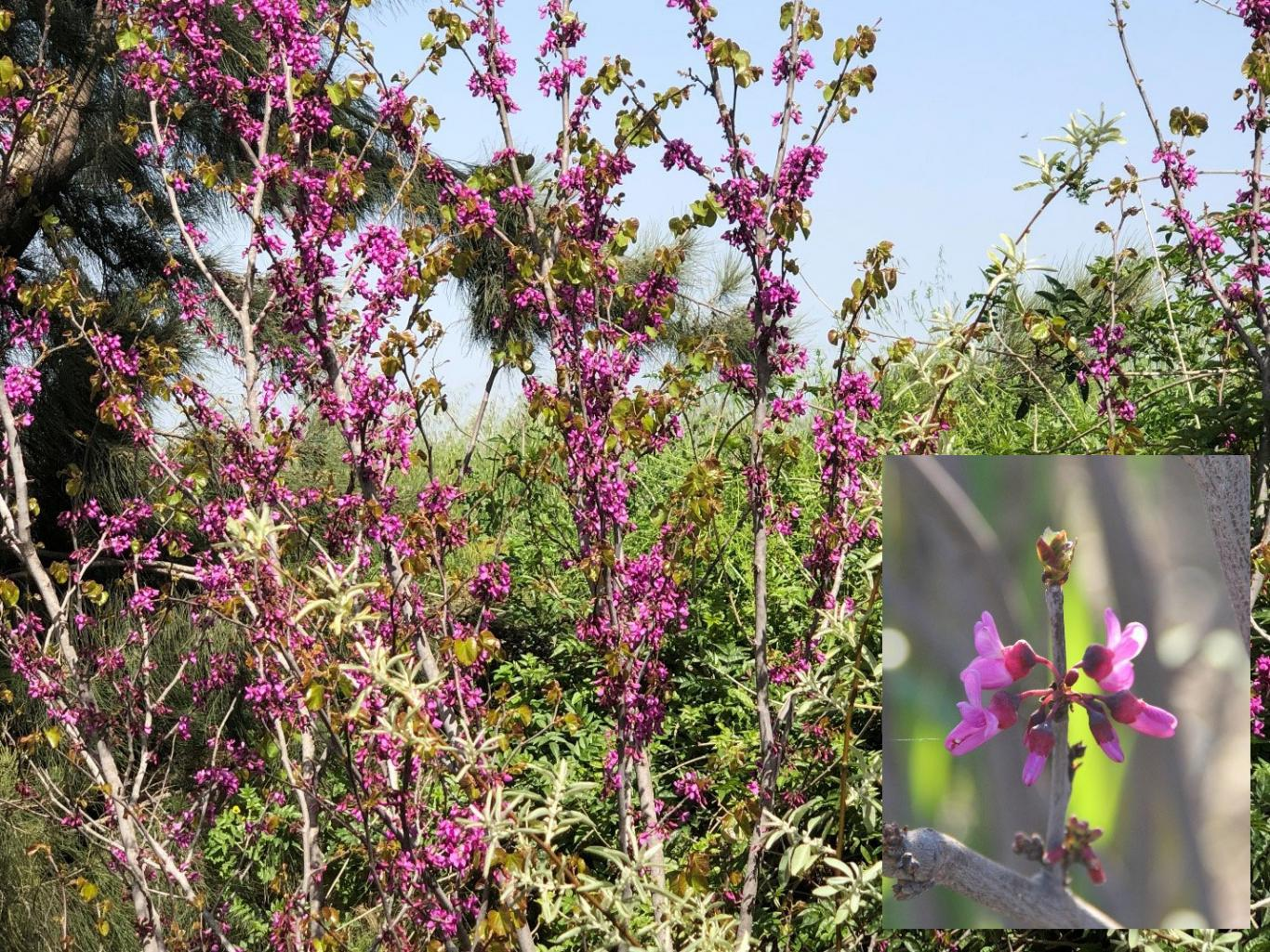 Cercis siliquastrum L. Caesalpinaceae (Red Bud, Love Tree) عروس الغابة، خزرج، زمزريق